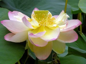 800px-Lotus_Nelumbo_nucifera_Flower_Large_3264px